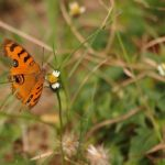 Orange butterfly on a flower at Choeung Ek Killing Fields, Phnom Penh, Cambodia