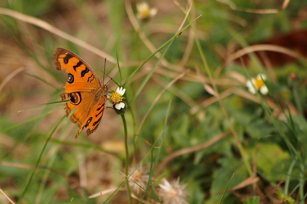 Orange butterfly on a flower at Choeung Ek Killing Fields, Phnom Penh, Cambodia