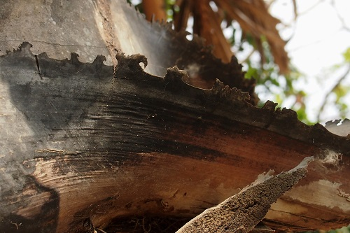 Serrated trunk of palm tree at Choeung Ek Killing Fields, Phnom Penh, Cambodia