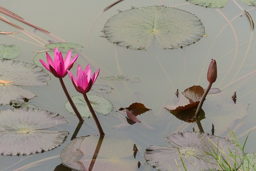Water lilies blooming in pond at Choeung Ek Killing Fields, Phnom Penh, Cambodia