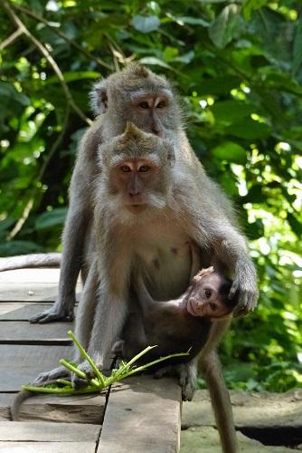 Baby monkey and parents at Ubud Monkey Forest, Bali