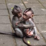 Baby macaques playing at Ubud Monkey Forest, Bali