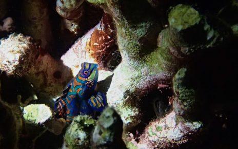 Mandarinfish hiding in coral reef near Menjangan Island, Bali, Indonesia