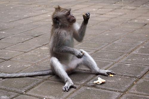 Monkey inspecting a large seed at Ubud Monkey Forest, Bali