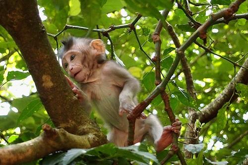 Baby monkey climbing in tree at Ubud Monkey Forest, Bali