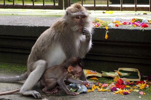 Monkeys eating Balinese offerings at Ubud Monkey Forest, Bali, Indonesia