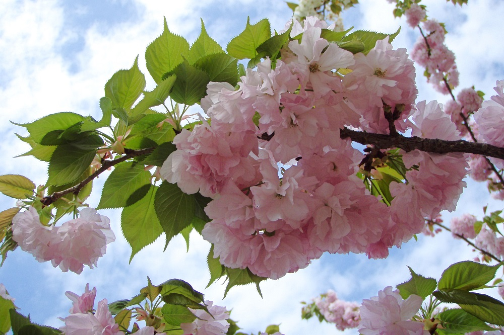 Double petaled pink cherry blossom during Torinuke in Osaka, Japan