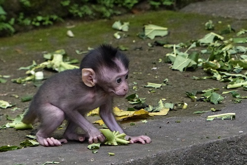 Crouching baby monkey at Ubud Monkey Forest, Bali