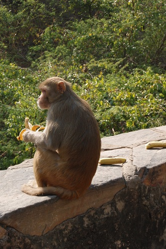 Monkey sitting by a row of bananas at Galtaji Temple in Jaipur, India