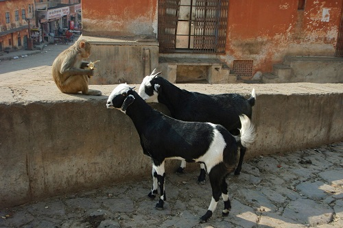Two goats staring at a banana eating monkey near Galtaji in Jaipur, India