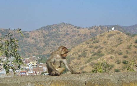 Monkey sitting on a wall with view of Aravalli Hills and Jaipur city behind