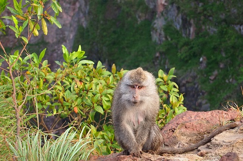 Monkey sitting by a bush on edge of crater at Mount Batur in Bali, Indonesia