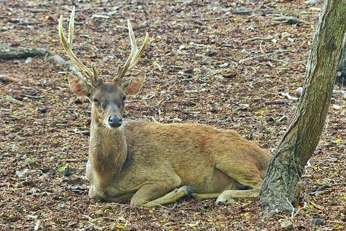 Deer with antlers sitting on forest floor in Komodo National Park, Indonesia