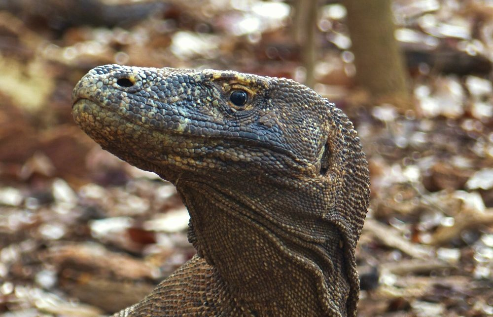 Head of Komodo dragon at Komodo National Park in Indonesia