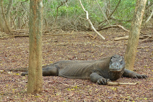 Dragon relaxing in forest on Komodo Island in Indonesia