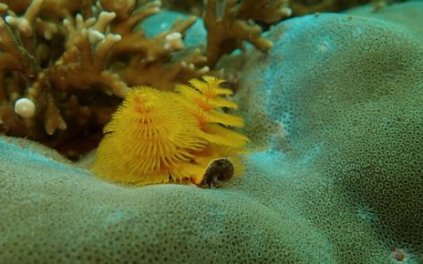 Yellow christmas tree worms on coral seen diving in Nha Trang, Vietnam