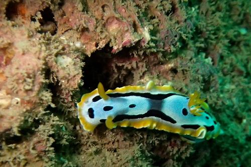 Chromodoris nudibranch seen diving in Nha Trang, Vietnam