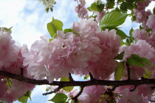 Blooming cherry blossom at Osaka Mint in Japan