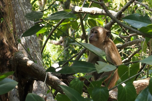 Monkey in the mangrove trees in Krabi town, Thailand