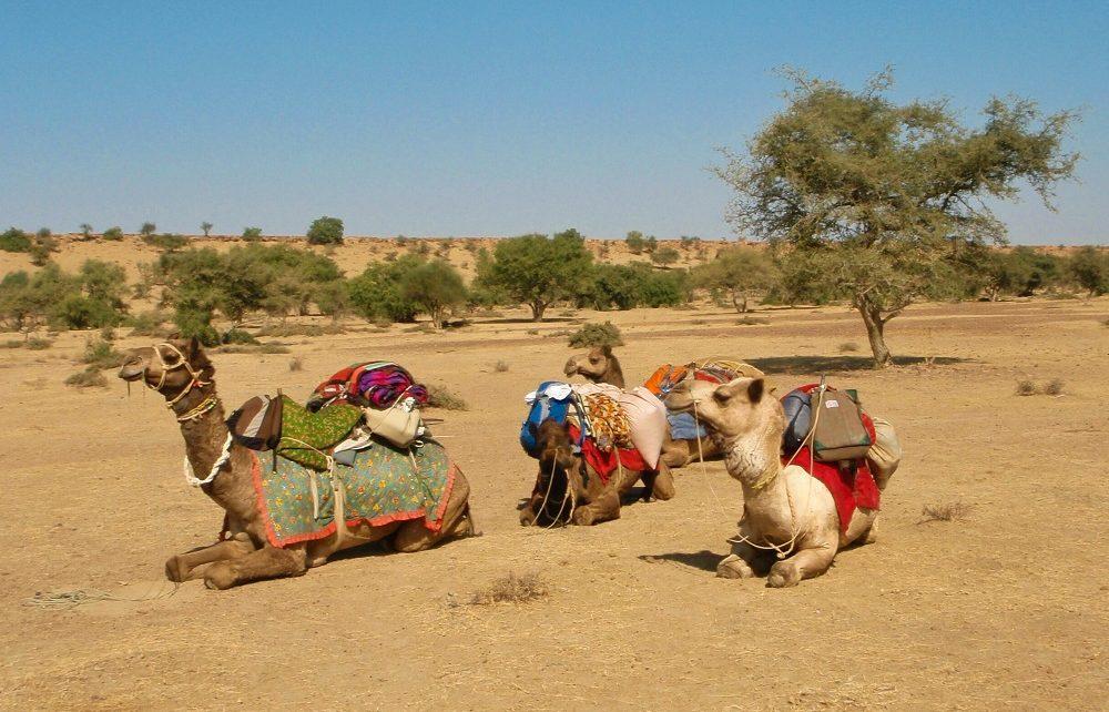 Fully laden camels sitting in the desert near Jaisalmer, India