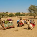 Fully laden camels sitting in the desert near Jaisalmer, India