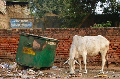Cow eating rubbish in Agra, India