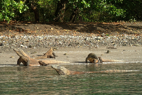 Komodo dragons swimming and walking on beach on Rinca Island, Indonesia