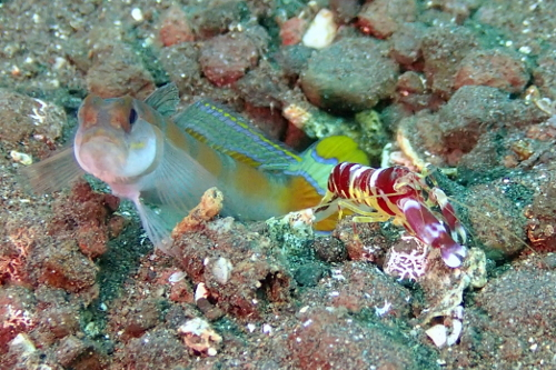 Goby and shrimp in burrow seen scuba diving in Tulamben, Bali
