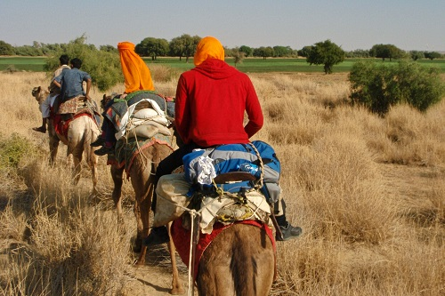 Camel trekking through green fields in the Thar Desert near Jaisalmer, India
