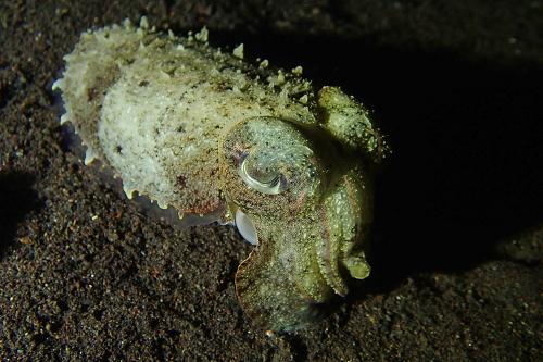 Cuttlefish seen scuba diving in Tulamben, Bali
