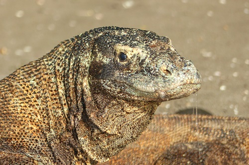 Face of a Komodo dragon on Rinca Island, Indonesia
