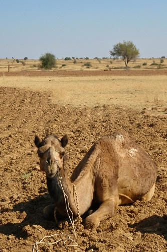 Camel resting in the Thar Desert near Jaisalmer, India
