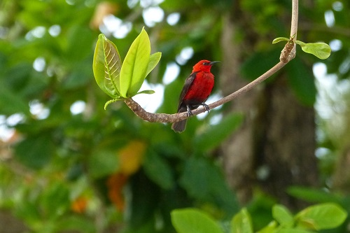Micronesian Myzomela bird in a tree on Weno Island in Chuuk, Micronesia