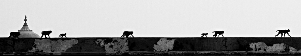 Monkeys creeping along wall of Agra Fort in India