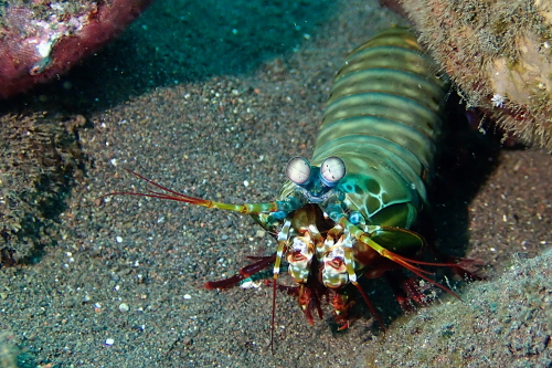 Peacock mantis shrimp seen scuba diving in Tulamben, Bali