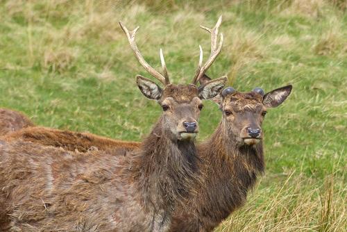 Two red deer in Lyme Park, Peak District