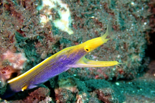 Ribbon eel seen scuba diving in Tulamben, Bali