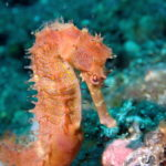 Seahorse on coral reef in Tulamben, Bali