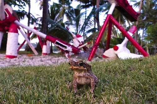 Toad on Weno Island in Chuuk, Micronesia