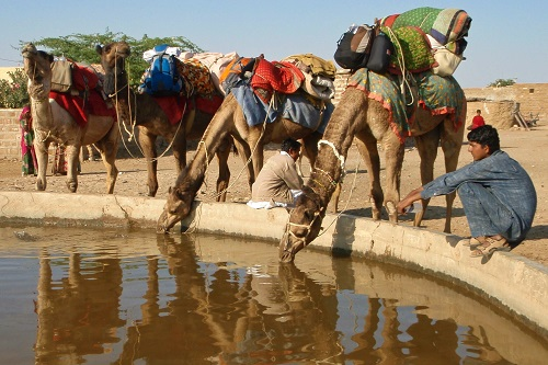 Camels drinking water in village near Jaisalmer, India