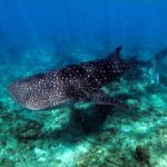 Whale shark swimming in the Maldives