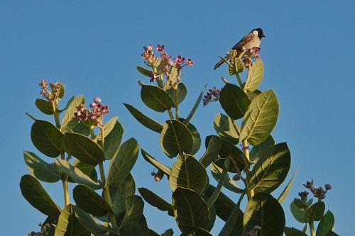 Bird sitting on a bush in the Thar Desert near Jaisalmer, India