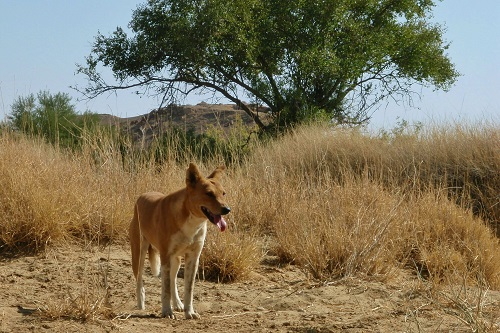 Wild dog in the Thar Desert near Jaisalmer, India