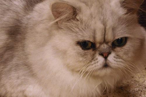 Grumpy cat face at a cafe in Osaka, Japan