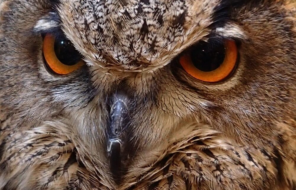Face of a European Eagle Owl at a Cafe in Nara, Japan