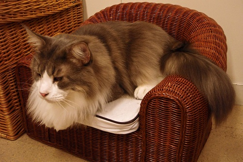 Huge cat on tiny wicker armchair at cat cafe in Osaka, Japan