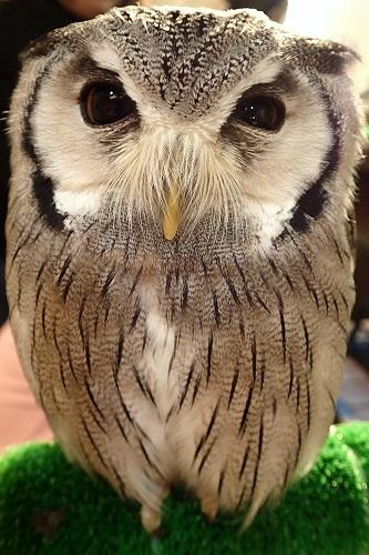 Our Favourite Bird at Wata Wata Owl Cafe in Nara, Japan