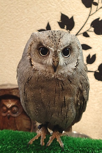 Bird at Wata Wata Owl Cafe in Nara, Japan