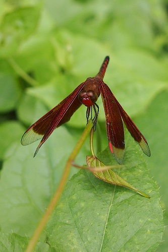 Red dragonfly on Campuhan Ridge Walk in Ubud, Bali