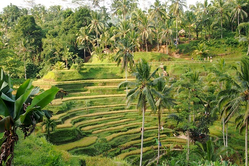 Tegalalang rice terrace and palm trees in Bali, Indonesia
